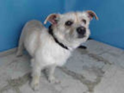 Adopt KERO a White - with Tan, Yellow or Fawn Terrier (Unknown Type