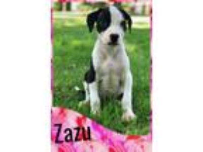 Adopt Zazu a Black - with White American Pit Bull Terrier / Great Dane / Mixed
