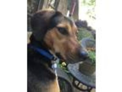 Adopt Loretta a Black - with Tan, Yellow or Fawn Hound (Unknown Type) / Shepherd