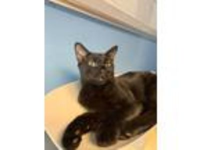 Adopt Reno a Domestic Short Hair