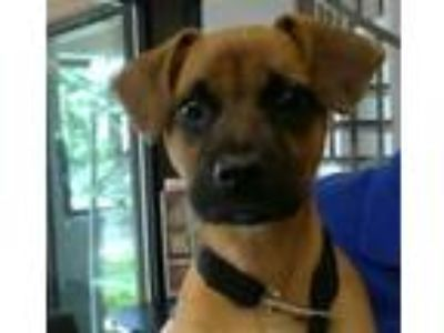 Adopt AXEL FOLEY a German Shepherd Dog, Boxer
