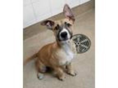 Adopt Thanos a Tan/Yellow/Fawn Labrador Retriever / Mixed dog in Bloomingdale