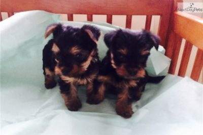 Yorkshire Terrier PUPPY FOR SALE ADN-89725 - Male yorkie