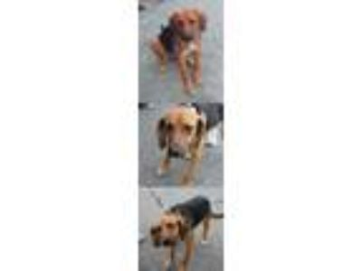 Adopt Berry/Eden a German Shepherd Dog / Beagle / Mixed dog in Chantilly