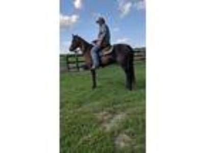 FLASHY show or trail horses available