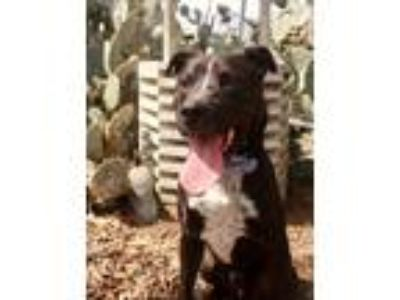 Adopt Deacon aka Big Boy JuM a Black - with White Labrador Retriever / Pit Bull