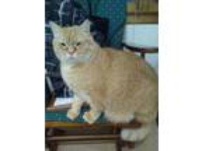 Adopt Courtesy Posting: Zumi a Orange or Red Tabby Domestic Shorthair (short