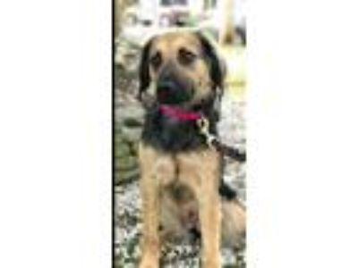 Adopt Astra a Black - with Tan, Yellow or Fawn Collie / Mixed dog in Staten