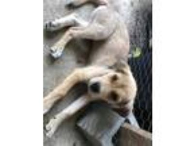 Adopt Ned Throne Tyler a Tan/Yellow/Fawn - with Black Shepherd (Unknown Type) /
