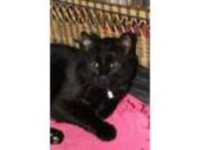 Adopt Pacino a All Black Domestic Shorthair (short coat) cat in New Richmond,