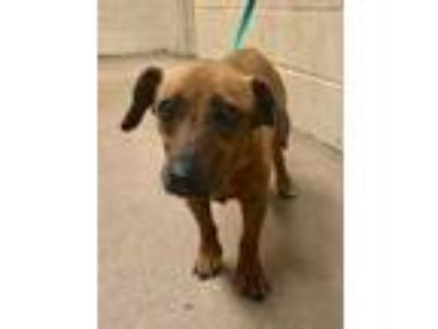 Adopt Liv* a Brown/Chocolate Dachshund / Mixed dog in Anderson, SC (25309271)