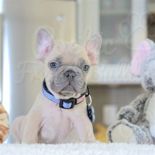 French Bulldog PUPPY FOR SALE ADN-73085 - Blue Fawn Male Simba