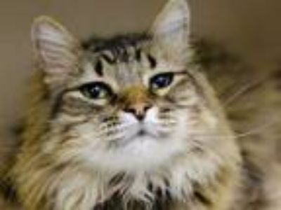 Adopt CYLO a Brown Tabby Domestic Longhair / Mixed (long coat) cat in Denver