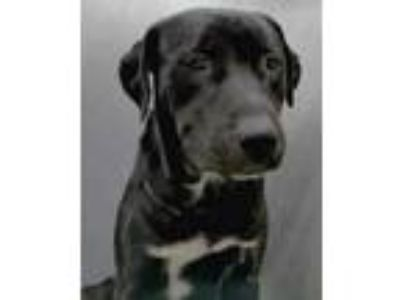 Adopt King a Black Labrador Retriever / Mixed dog in The Colony, TX (25885561)