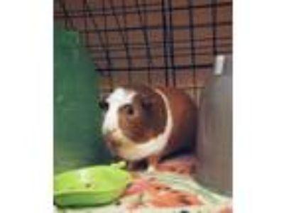 Adopt Penelope, S'mores and Tiramisu a Guinea Pig