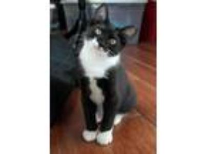 Adopt Racer19 a Domestic Shorthair / Mixed (short coat) cat in Youngsville
