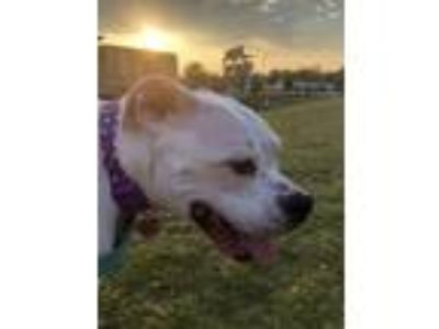Adopt Lola a White Boxer / American Pit Bull Terrier / Mixed dog in Charlotte