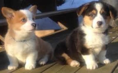 nmmnet Male and female Welsh Corgi Puppies