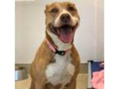 Adopt Bella a Tan/Yellow/Fawn American Pit Bull Terrier / Mixed dog in
