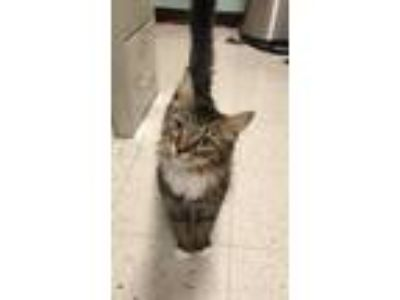 Adopt Maple a Brown Tabby Domestic Longhair / Mixed cat in Salem, MA (25656495)