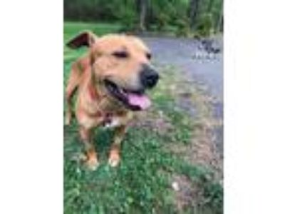 Adopt Kingston a Tan/Yellow/Fawn American Pit Bull Terrier / Mixed dog in
