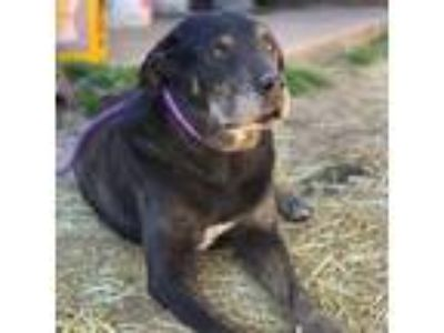 Adopt Beauty a Black Rottweiler / Collie dog in Kaufman, TX (24569669)