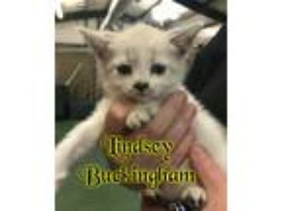 Adopt Lindsey Buckingham a Domestic Short Hair