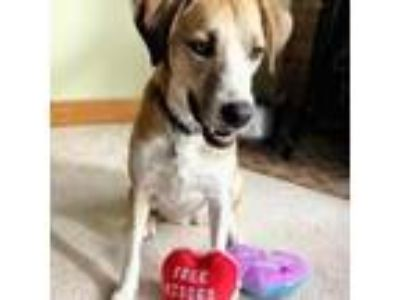 Adopt Lucy a Tan/Yellow/Fawn Labrador Retriever dog in Pendleton, NY (23935303)