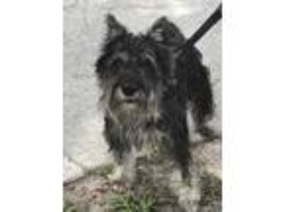 Adopt CHUCKY a Black - with Gray or Silver Schnauzer (Miniature) / Mixed dog in