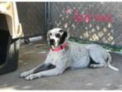Adopt Bessie Anne a Pointer