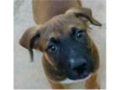 Adopt Colte a Brown/Chocolate - with Black German Shepherd Dog / American