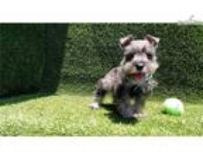 Male Mini Schnauzer Puppy