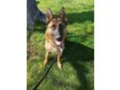 Adopt Athena a Brown/Chocolate - with Black German Shepherd Dog / Mixed dog in