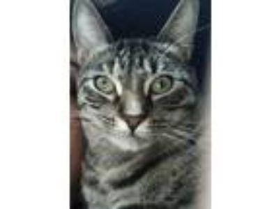 Adopt Darling a Brown Tabby Domestic Shorthair cat in San Jose, CA (25639448)