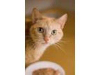Adopt Dixie Chick a Orange or Red Domestic Shorthair (short coat) cat in