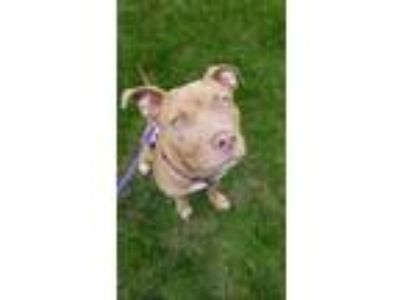 Adopt Daisy a Brown/Chocolate Mixed Breed (Large) / Mixed dog in Worcester