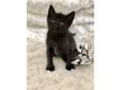 Adopt Miso a All Black Domestic Shorthair / Mixed cat in Youngsville