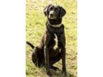 Adopt Shep a Black Labrador Retriever / Hound (Unknown Type) / Mixed dog in