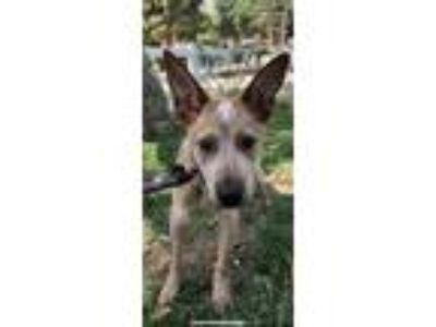 Adopt IRWIN a Australian Cattle Dog / Blue Heeler