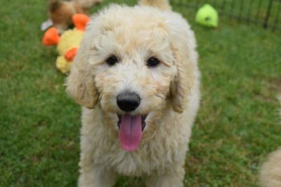 AKC Standard Poodle Puppies In Michigan