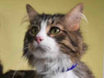 Adopt LEO a Brown Tabby Domestic Longhair / Mixed (long coat) cat in Loveland
