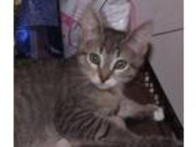Adopt Tanner a Gray, Blue or Silver Tabby Domestic Shorthair (short coat) cat in