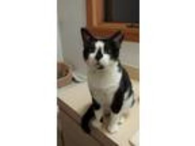 Adopt Stanley a Black & White or Tuxedo Domestic Shorthair (short coat) cat in