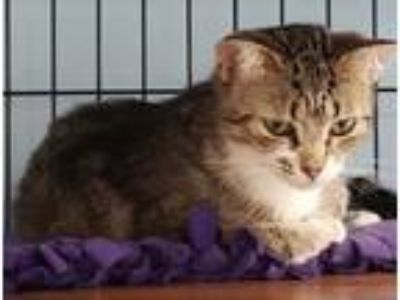 Adopt KITTY KITTY a Domestic Short Hair, Tabby