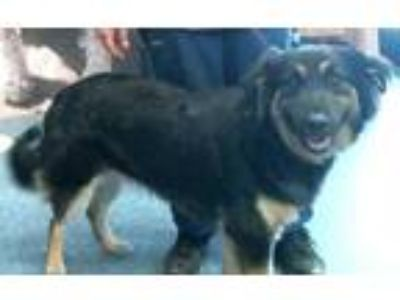 Adopt 158103 a Black Shepherd (Unknown Type) / Mixed dog in Bakersfield