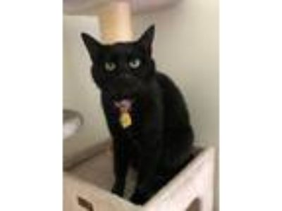 Adopt Sable (MUST BE ADOPTED WITH SOX) a Domestic Short Hair