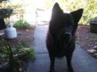 Adopt Sarah a Black Chow Chow / Labrador Retriever dog in Holiday, FL (24530031)