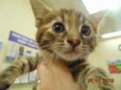 Adopt ANGEL KITTY a Brown Tabby Domestic Shorthair / Mixed (short coat) cat in