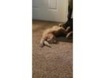 Adopt Renji a Orange or Red Tabby American Shorthair cat in South Jordan