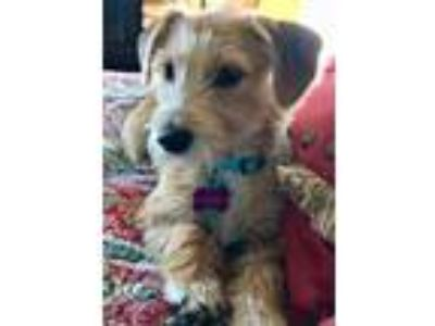 Adopt Clementine a Tan/Yellow/Fawn - with White Dachshund / Terrier (Unknown